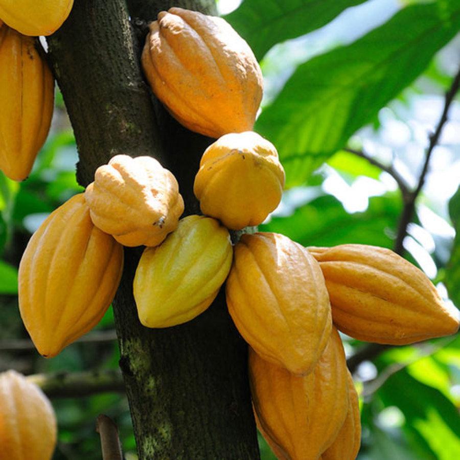 Peru Cocoa Plant