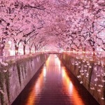 World's Most Breathtaking Cherry Blossom and Tulip Festivals