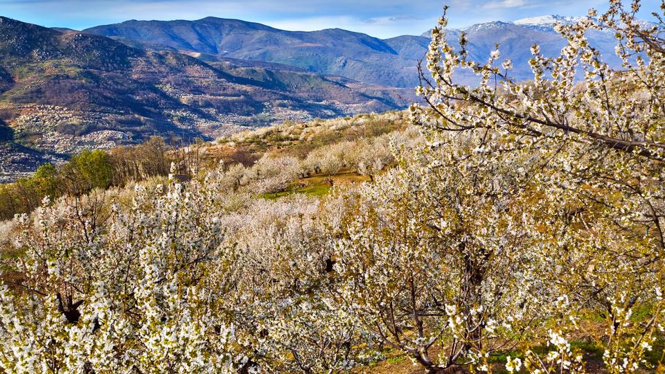 Extremadura Spain Cherry Blossoms