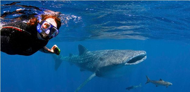 Ningaloo Reef Diving With Whale Sharks
