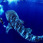 Swimming With Whale Sharks at Ningaloo Reef Australia