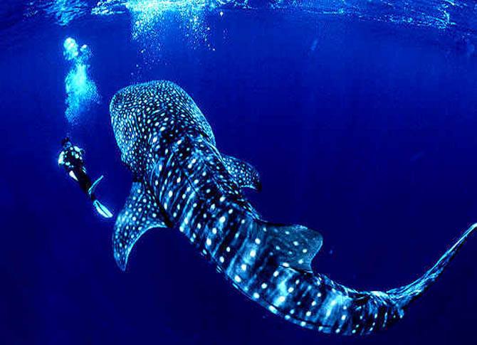 Swimming with whale sharks wicked good travel tips - Ningaloo reef dive ...