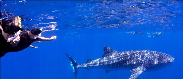 Swimming With Whale Sharks on Ningaloo Reef Australia