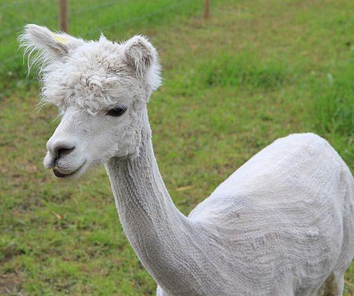 Alpaca_Farm