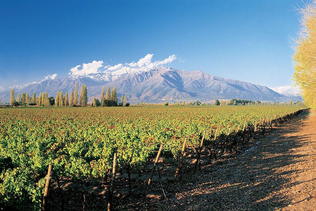 Chile Vineyard