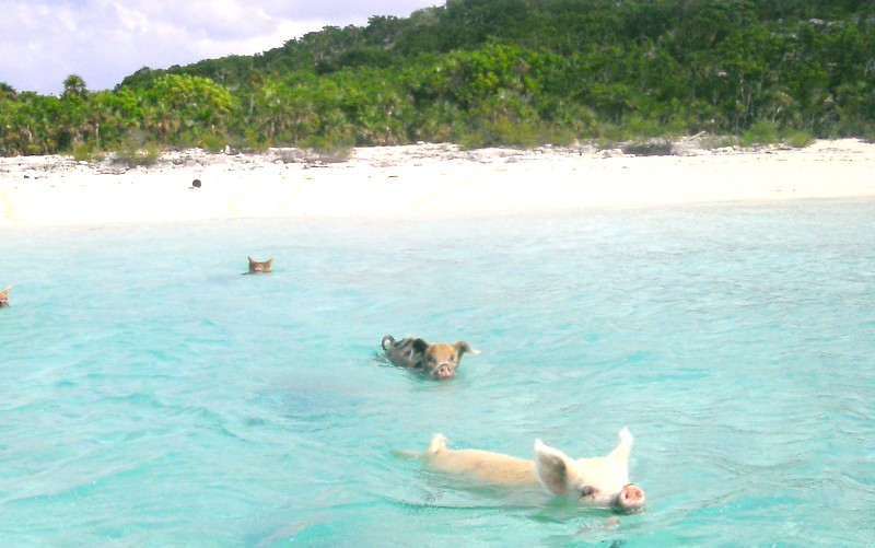Swimming With Pigs Exuma Bahamas