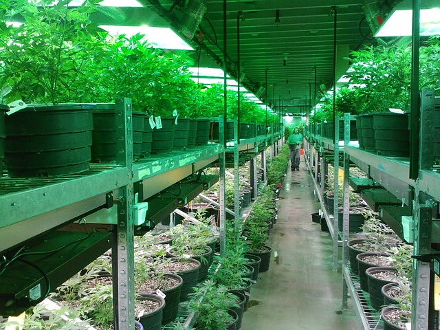 marijuana nursery farm