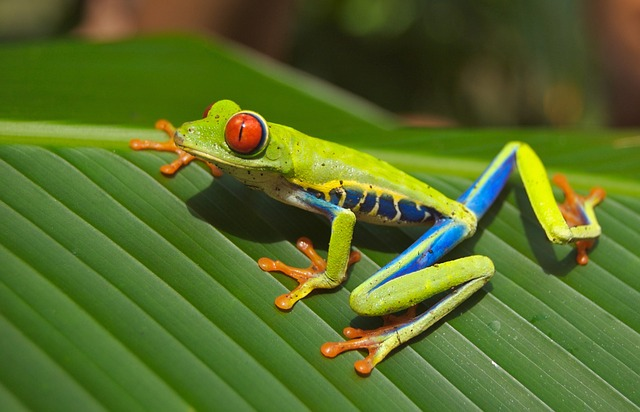 costsa-rica-tree-frog