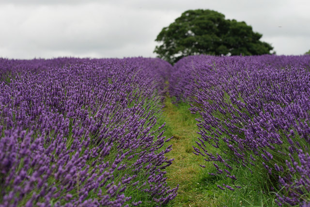 Mayfield Lavender Fields Banstead UK