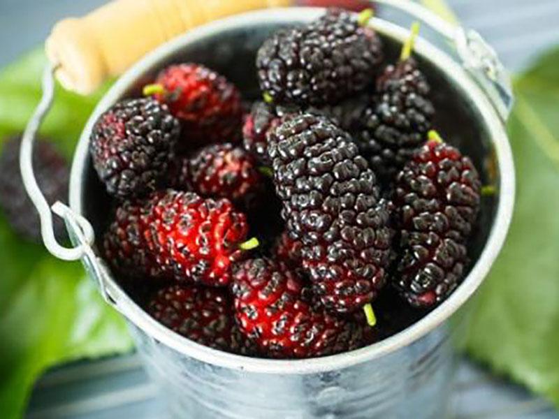 Mulberry Festival Armenia