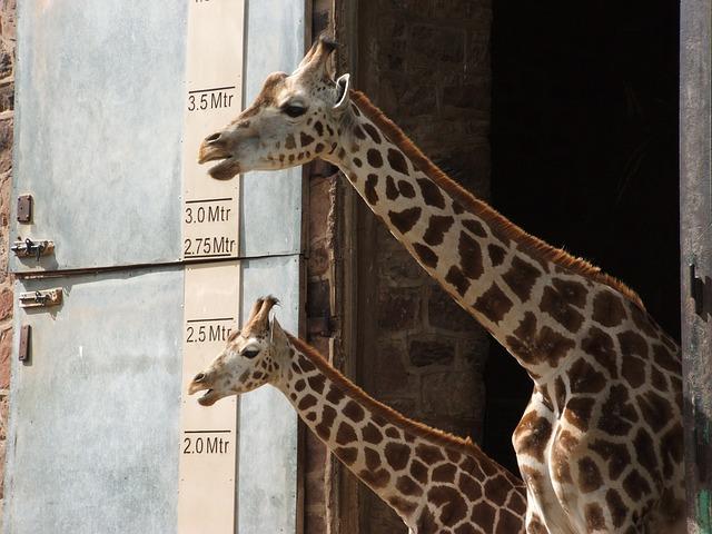 Giraffe at Chester Zoo England