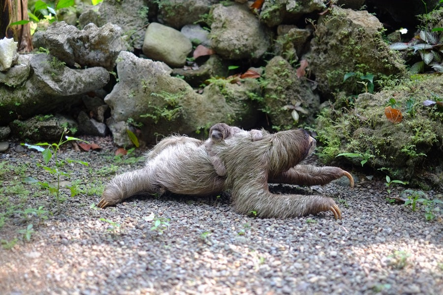 Sloth baby Costa Rica