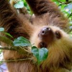 Where To See Sloths on Your Costa Rica Vacation