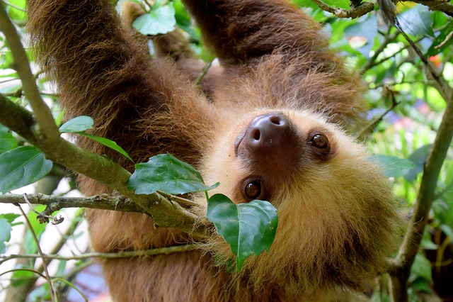 where to see sloths in wild