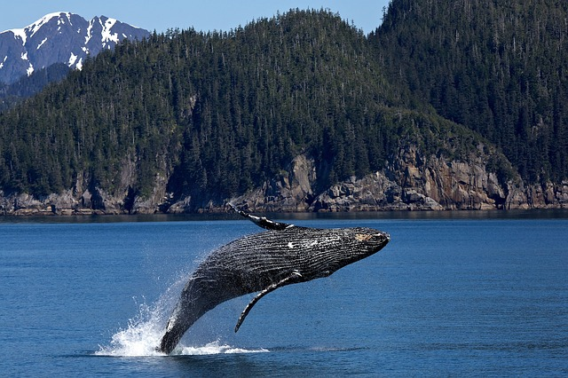 Humpback Whale Kenai Peninsula Alaska