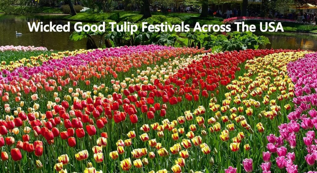 USA Tulip Festivals