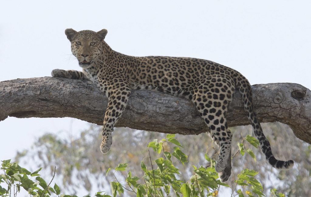 Leopard Botswana Africa