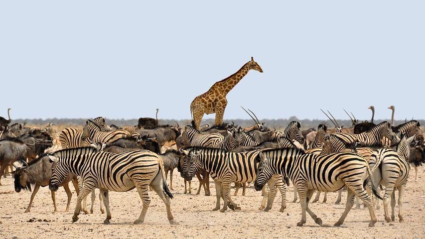 Zebra and friends
