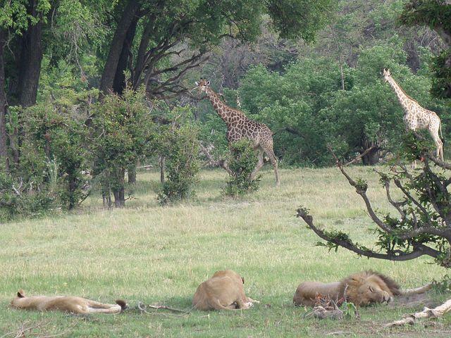 African Lions and Zebra Botswana