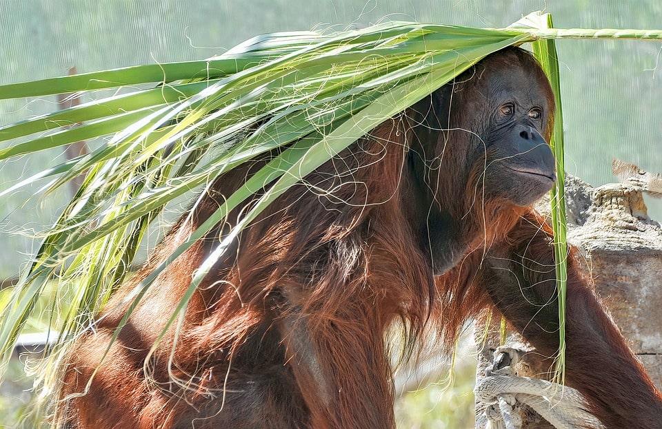 Orangutan Borneo Nationnal Park