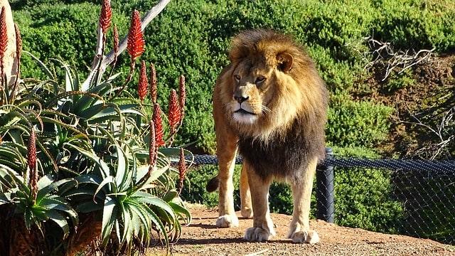 Lion Werribee Open Zoo