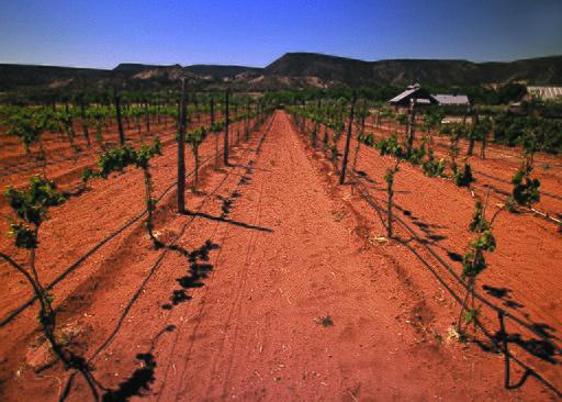 New Mexico Vineyard