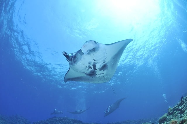 Giant Manta Ray Hawaii