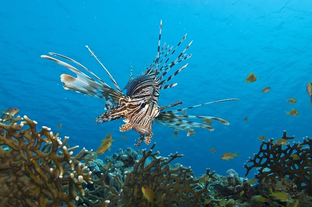 Lion Fish Florida Keys