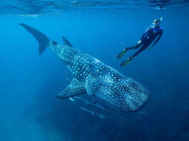 Whale Sharks Tanzania