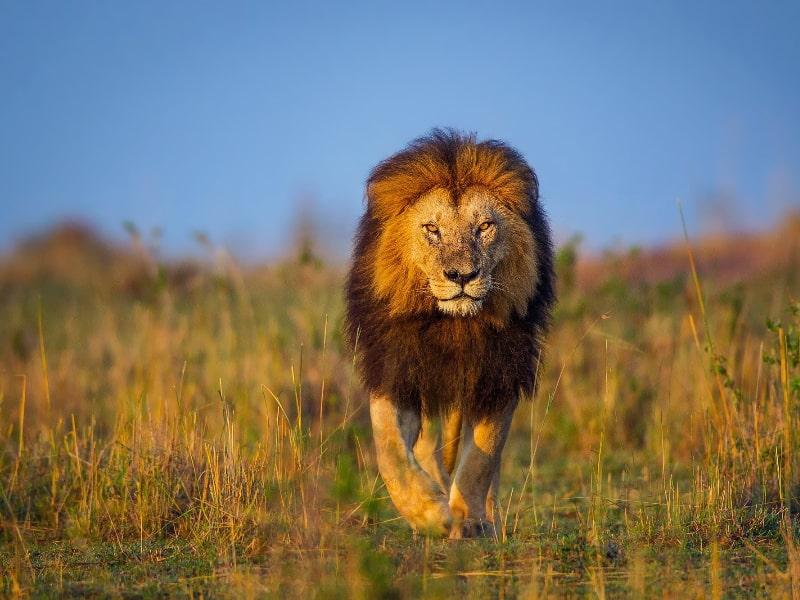 Big 5 - African Lion