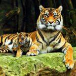 Royal Bengal Tibers India