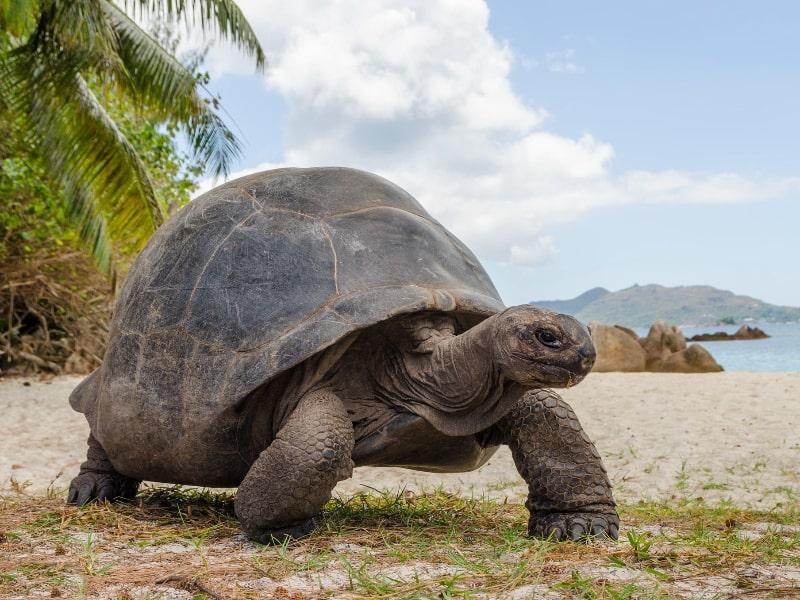 Giant Tortoise Seychelle Islands