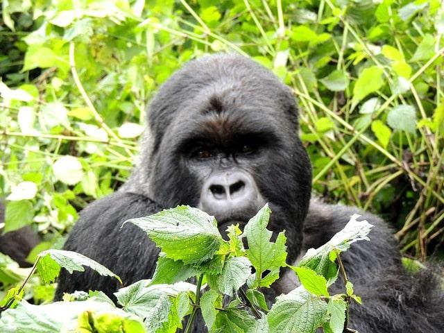 Rwanda Gorilla Sanctuary
