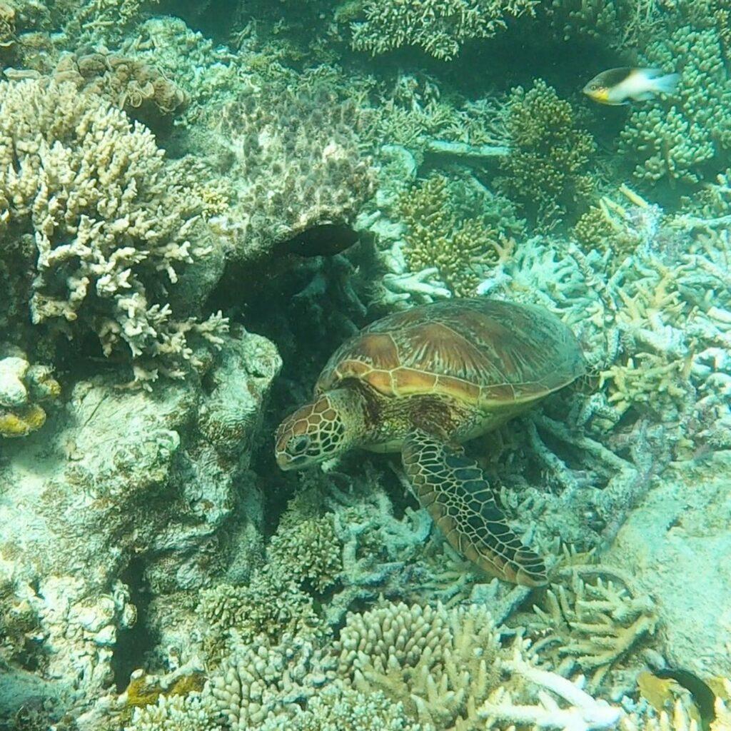 Great Barrier Reef Turtle